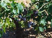 tradición milenaria Vendimia vuelve ruta vino Ribera Duero
