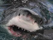 Avistar Gran Tiburón Blanco