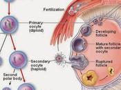 Meiosis ovocito primario parálisis