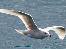 Larus hyperboreus-gavión hiperbòreo-glaucous gull