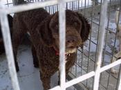 YUN,perro aguas color chocolate perrera Rotaguau (cadiz)