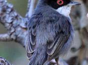 Sylvia melanocephala-curruca cabecinegra-sardinian warbler