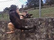 Pastores alemanes: Perros Guardianes