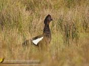 Pato real criollo (Muscovy Duck) Cairina moschata