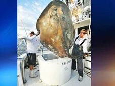 Famoso pescador captura gigantesca raya kilos