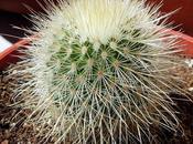 Mammillaria crassior, spinossisima