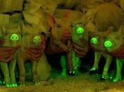Crean cerdos brillan oscuridad usando medusas