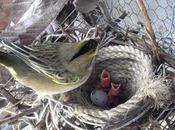 Rescatan aves salvajes Burzaco