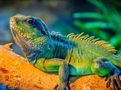 Iguana verde: características nombres