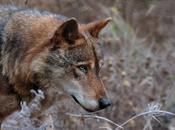 Soñar lobos lobas, sueños cachorros lobo.Pesadillas lobos.