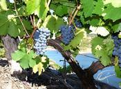 """Vinos """"primitivos"""", Sabatelius."""