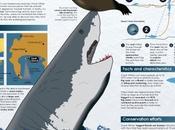 Características tiburón blanco #Infografía #Tiburon #Animales