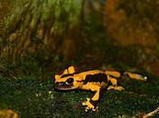 salamandras fuego: mitos, leyendas sobre animal inofensivo