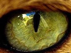 ¿Por gatos tienen pupilas 'rasgadas'?