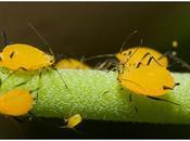 Pulgones, moscas blancas, cochinillas cicadelas