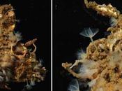 Nueva especie gusano herradura descubierta Japón