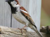 gorrión, pájaro común cada escaso