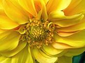 Floración amarilla, significado cultura