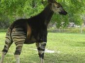 descubrimiento Okapi