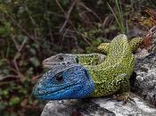 Estrategias apareamiento lagartos lagartijas