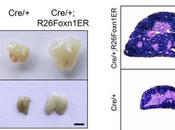 Científicos logran primera regenerar órgano vivo