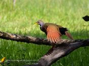 Chiricote (Gray-necked Wood-Rail) Aramides cajanea