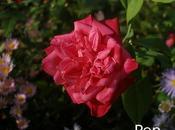 Asters otras perennes otoñales rosales