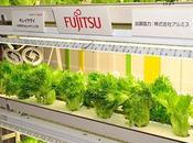 empresa electrónica Fujitsu cultiva vende lechugas