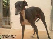 Ayuda urgente!! galgo aterrado perrera cartagena.