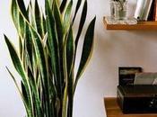 Lengua suegra: planta perfecta para interiores Mother's tongue: perfect indoor plant