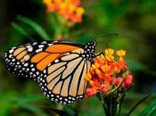 mariposas monarca saben bien