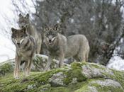 lobo Extremadura