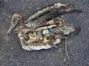 Tristes imágenes aves marinas muertas plásticos estómago