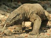 Dragón Komodo festín cabra muerta