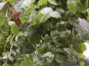 """Cuidados para Ficus rastrero (Ficus repens """"white sunny"""")"""