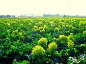 Cómo cultivar brócoli