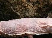 Heterocephalus glaber Rata topo desnuda