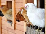 Cómo elegir gallinas