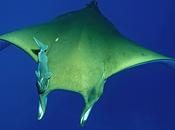 Descubren manta raya chilena capaz realizar buceos profundos