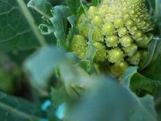 Cómo cultivar brócoli huertos urbanos