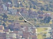 rimeros registros Águila Mora (Geranoaetus melanoleucus) para ciudades Alto (Bolivia) breve descripción estrategia cacería. Richard Contreras