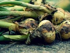 Cómo cultivar cebollas huertos urbanos
