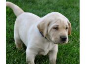 Síntomas tratamiento hernia umbilical cachorros