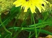 Escorzonera diurético ayuda picaduras víboras, dieta, diabetes