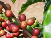 Café Verde para Adelgazar...