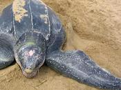'tercer ojo' ayuda predecir tortugas marinas cambios estaciones