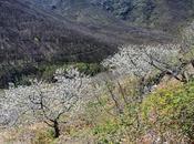 Floración Cerezo (Valle Jerte)
