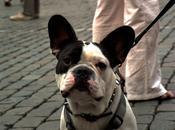 razas perros populares siglo XXI: bulldog francés frenchie