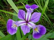 Bulbos otoño: iris