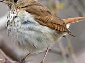 Encuentran aves usan escalas musicales como humanos